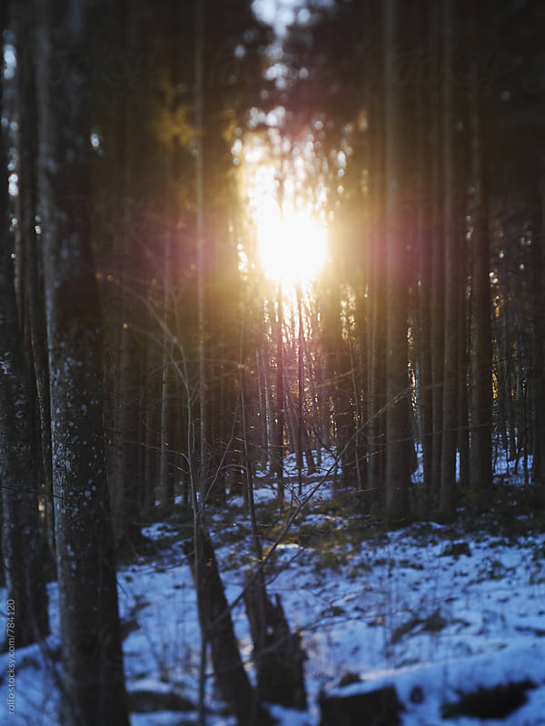 sun star shines through winter forest by rolfo for Stocksy United