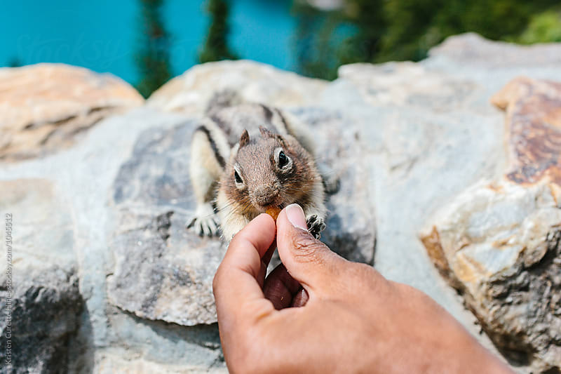 A hungry chipmunk reaching out for food from a hand by Kristen Curette Hines for Stocksy United