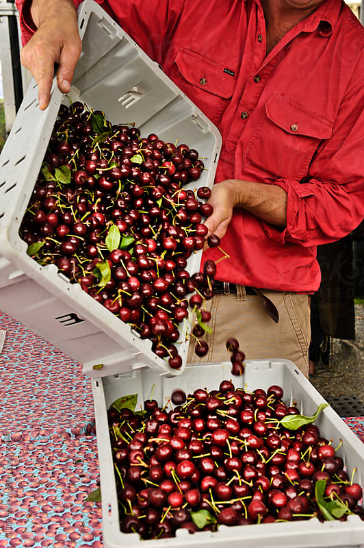 farmer drops cherries by Gillian Vann for Stocksy United
