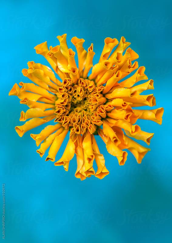 Marigold by alan shapiro for Stocksy United