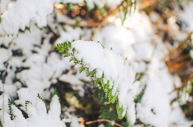 New Zealand fern covered in snow by Dominique Chapman for Stocksy United