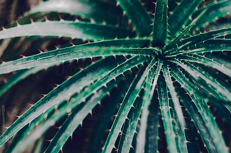Closeup of dark green spiky cactus like plant; abstract background detail by Wizemark for Stocksy United