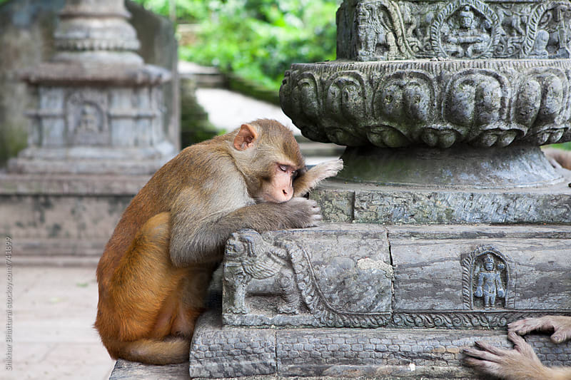 Too tired for monkey business. by Shikhar Bhattarai for Stocksy United