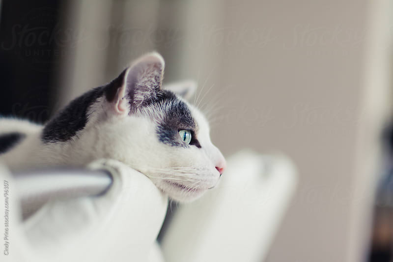 The head of a white and grey cat leaning on a white dining chair by Cindy Prins for Stocksy United