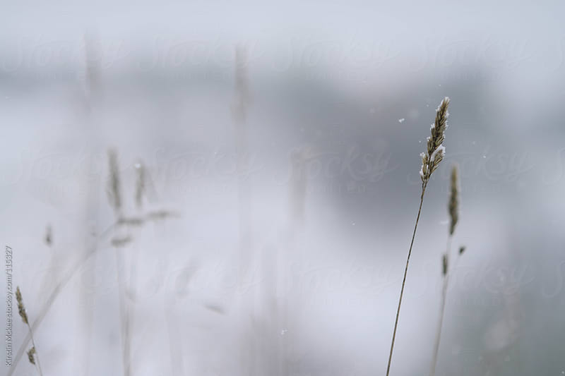 Snow falling onto wild grass.  by Kirstin Mckee for Stocksy United