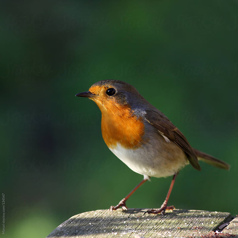 European robin on a wooden garden table by Marcel for Stocksy United
