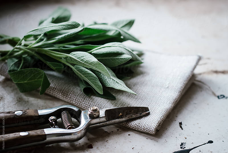 Fresh sage and secateurs by Helen Rushbrook for Stocksy United
