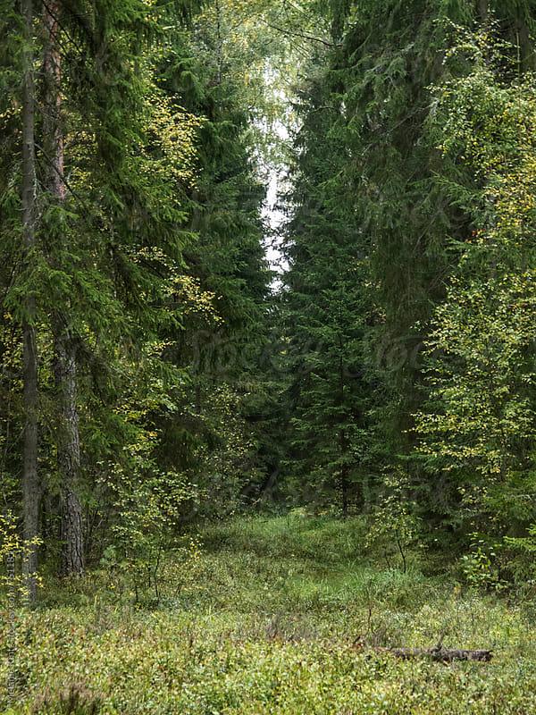 Lush green forest by Melanie Kintz for Stocksy United