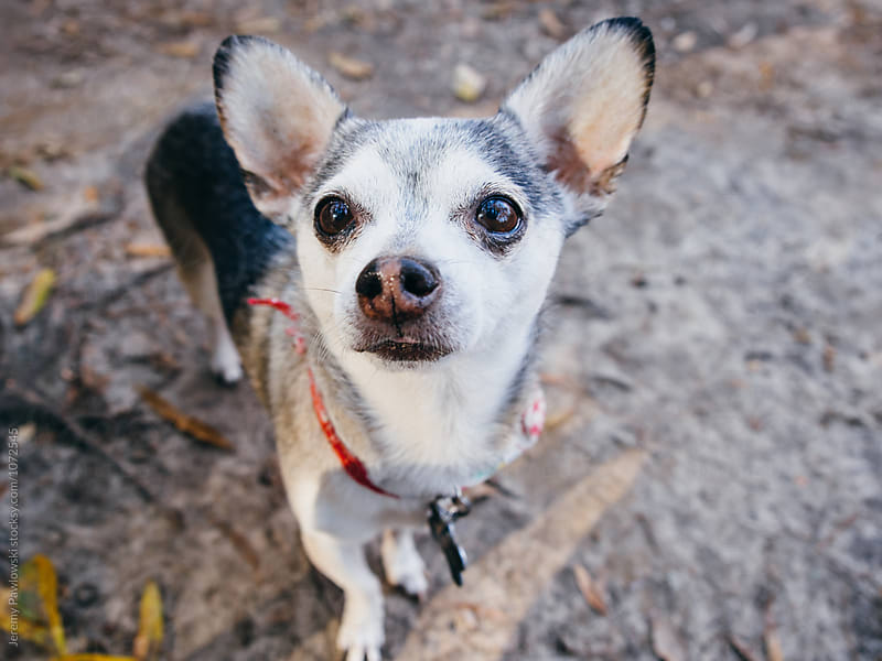 Small old chihuahua dog looking up towards camera by Jeremy Pawlowski for Stocksy United