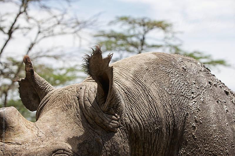Rhino Ears by aaronbelford inc for Stocksy United