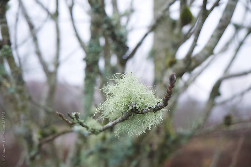 Beard lichen on a tree branch by Jon Attaway for Stocksy United