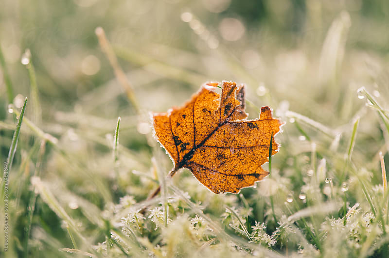 Single leaf resting on frost covered grass by Rebecca Spencer for Stocksy United