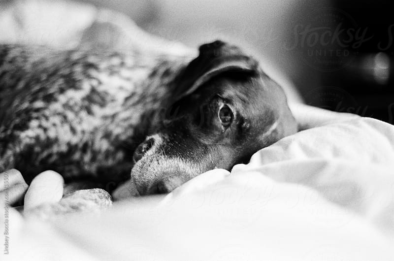 dog on bed by Lindsey Boccia for Stocksy United