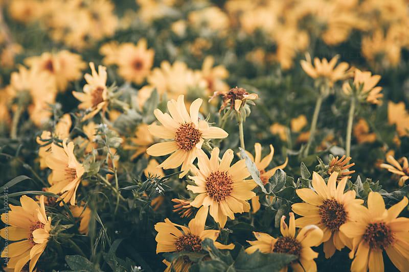 Close Up of Beautiful Wildflowers in Utah by Jake Elko for Stocksy United