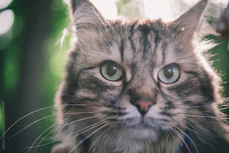 Domestic cat portrait close up, cat face close up outdoors by Adrian Cotiga for Stocksy United