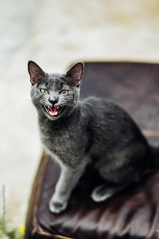 Feisty Cat by ZOA PHOTO for Stocksy United