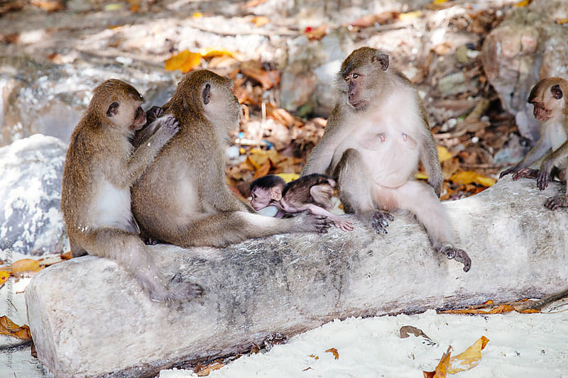 Monkey family on tree trunk on beach by Andrey Pavlov for Stocksy United