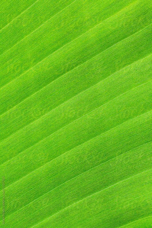 White bird of paradise leaf, macro