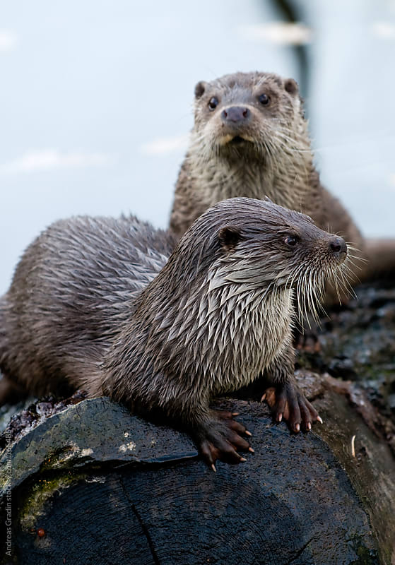 river otters by Andreas Gradin for Stocksy United