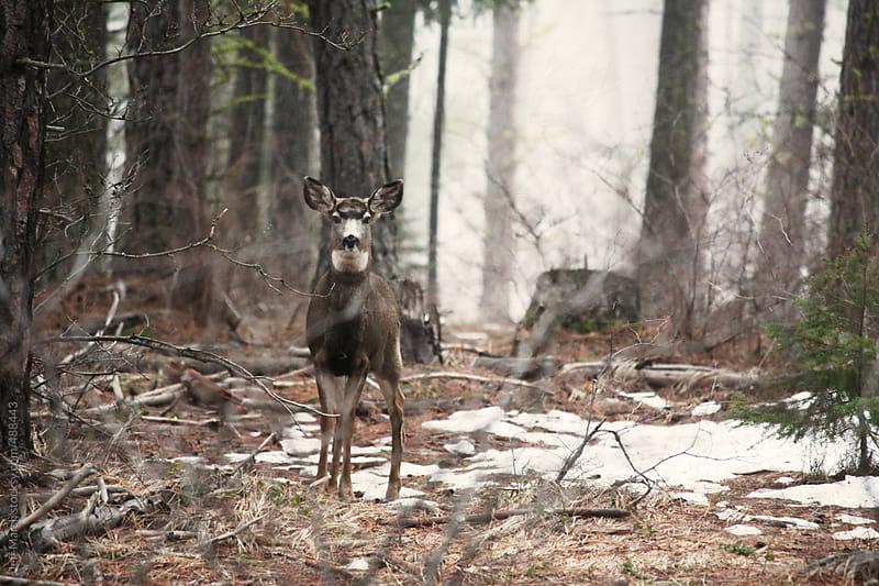 Mule Deer by Jeff Marsh for Stocksy United