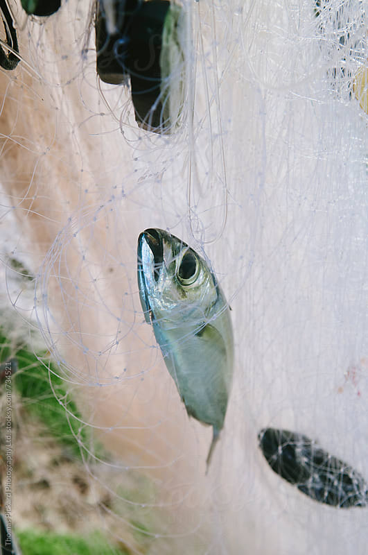 Fish caught in a net, Samoa. by Thomas Pickard for Stocksy United
