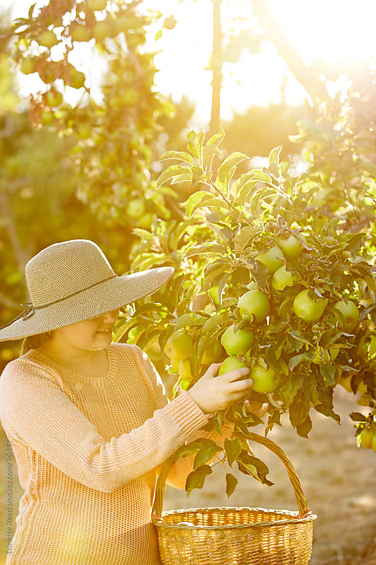 Woman farmer picking apples in her organic orchard by Trinette Reed for Stocksy United