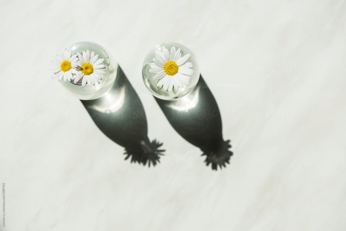 Fresh Daisy Flowers With Stems And Shadows On Transparent Glass