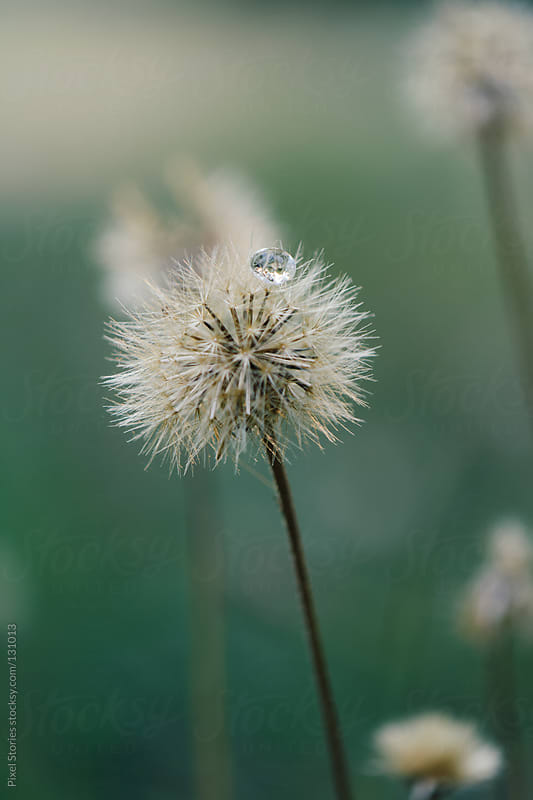 Dandelion with drop by Pixel Stories for Stocksy United