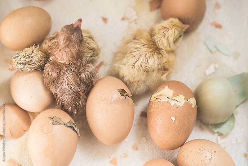 Baby Chicks Hatch In An Incubator by Alison Winterroth for Stocksy United