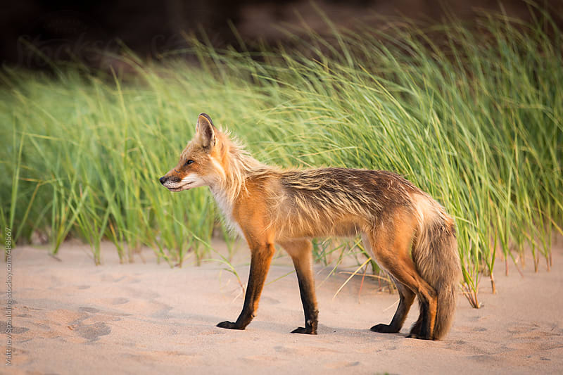 Single wild fox walking in natural outdoor animal environment by Matthew Spaulding for Stocksy United