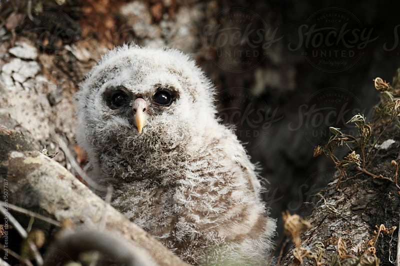 Barred Owl Chick by Paul Tessier for Stocksy United
