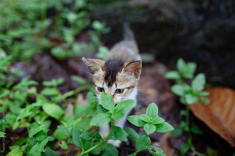 Kitten hiding behind plants by Saptak Ganguly for Stocksy United