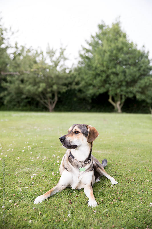 Dog laying on grass being alert by Ann-Sophie Fjelloe-Jensen for Stocksy United