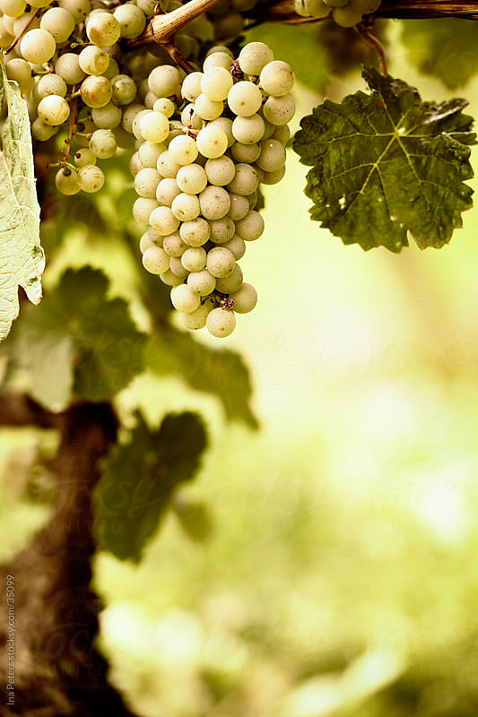 Bunch of ripe riesling grapes by Ina Peters for Stocksy United