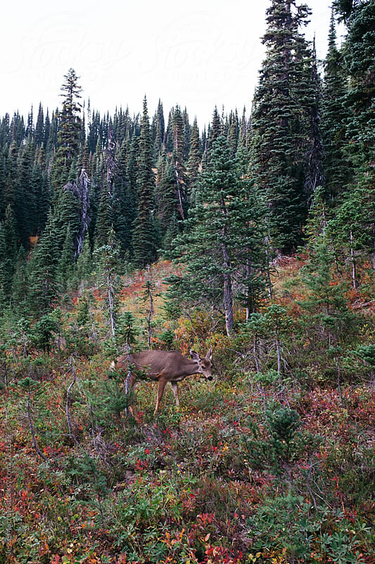small mule deer in northwest mountain landscape by Jesse Morrow for Stocksy United