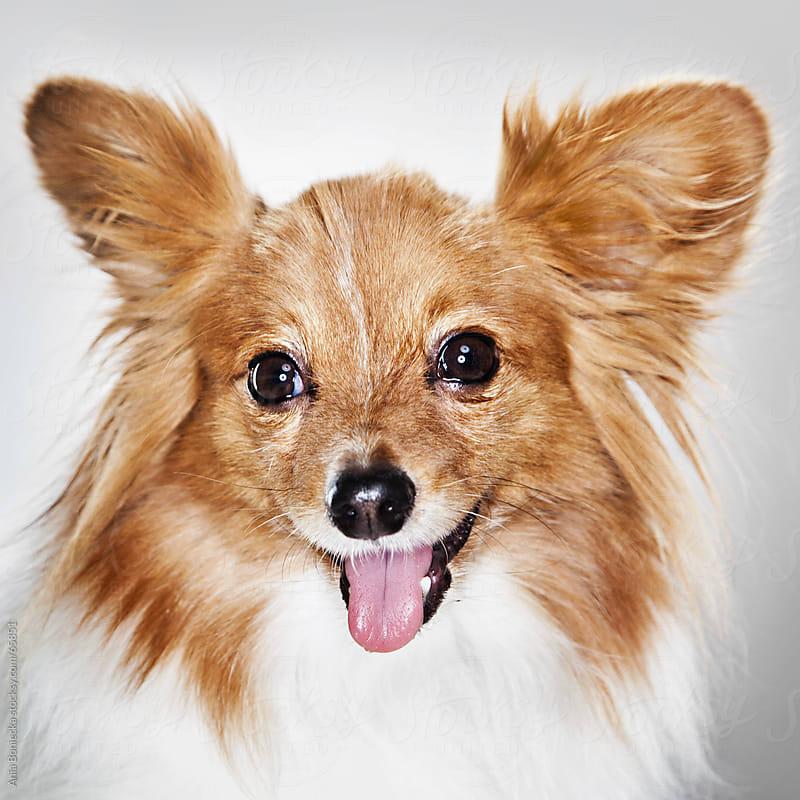 Studio dog portrait: Papillon by Ania Boniecka for Stocksy United