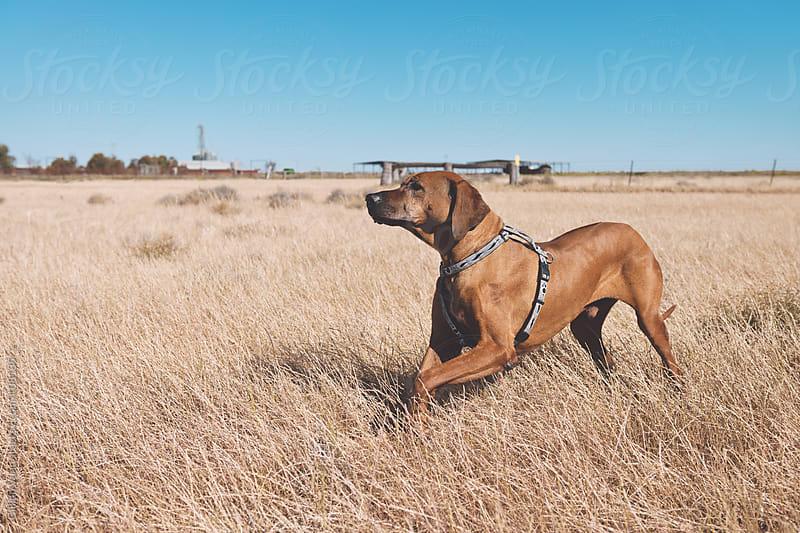 rhodesian ridgeback in a field by Gillian Vann for Stocksy United