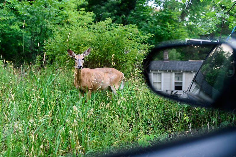 spotting a deer by the side of the road from a car by Deirdre Malfatto for Stocksy United