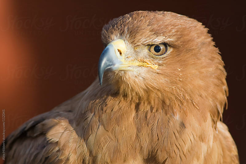Tawny Eagle by Alex Hibbert for Stocksy United