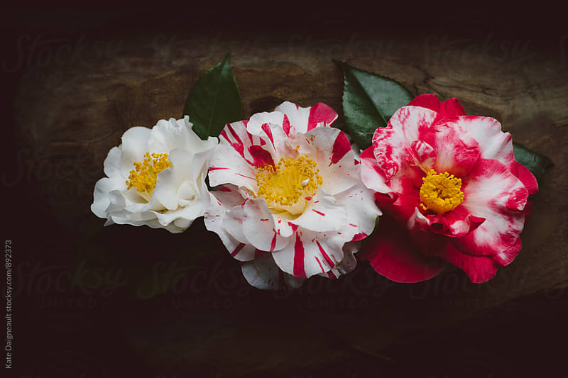 Spring Camellia flowers on wooden background by Kate Daigneault for Stocksy United