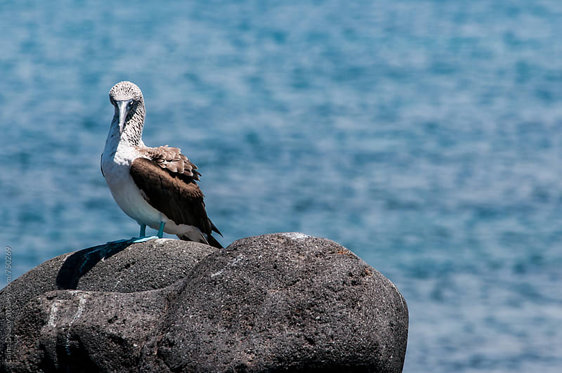 Blue footed boobie, Galapagos Islands by Caine Delacy for Stocksy United