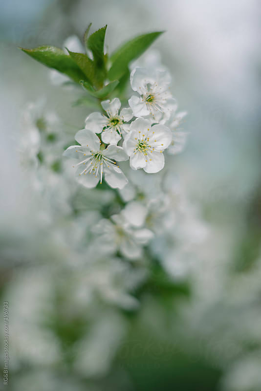 Bloomed  sour cherry  flowers by RG&B Images for Stocksy United
