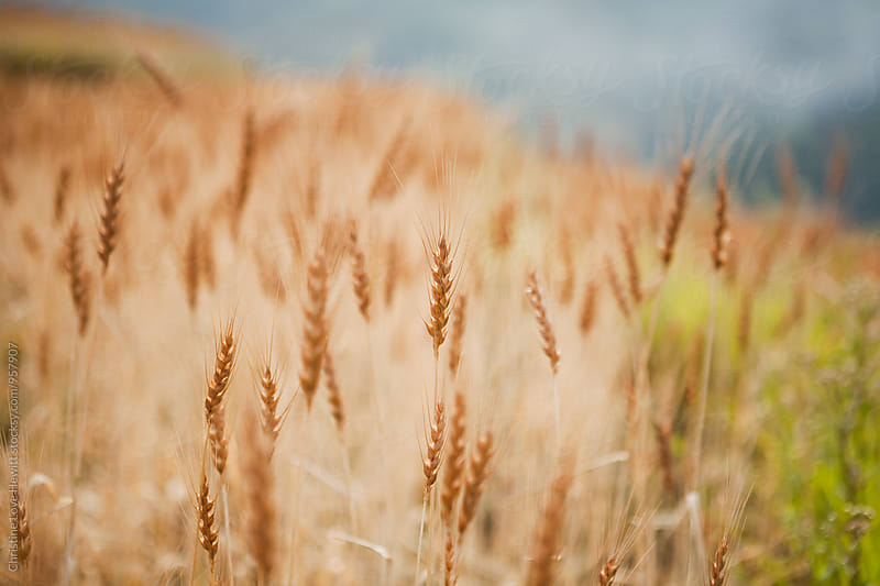 Wheat field by Christine Hewitt for Stocksy United