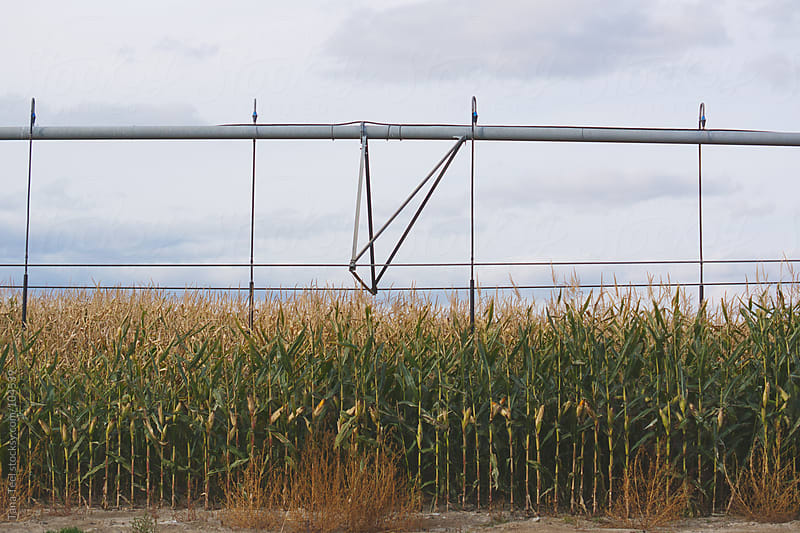 A corn field with irrigation wheel by Tana Teel for Stocksy United