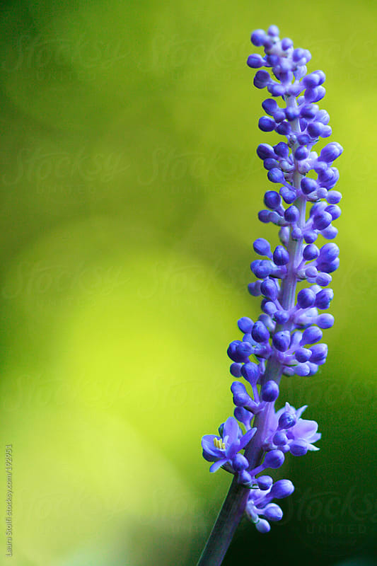 Extreme close-up of purple big blue lilyturf (Liriope muscari) spike flowering in sunny garden by Laura Stolfi for Stocksy United