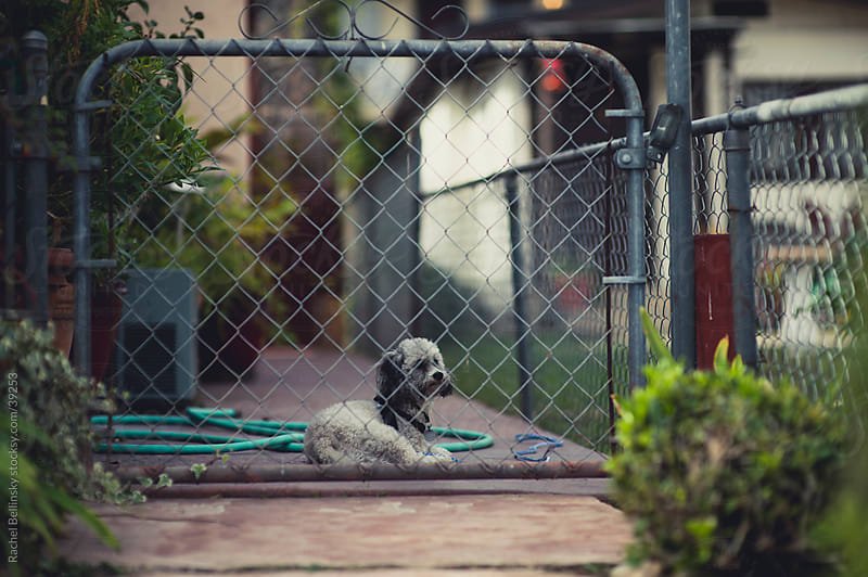 A poodle mutt in a fenced yard by Rachel Bellinsky for Stocksy United