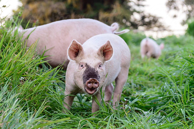 free range pigs on a farm, smiling to camera by Gillian Vann for Stocksy United