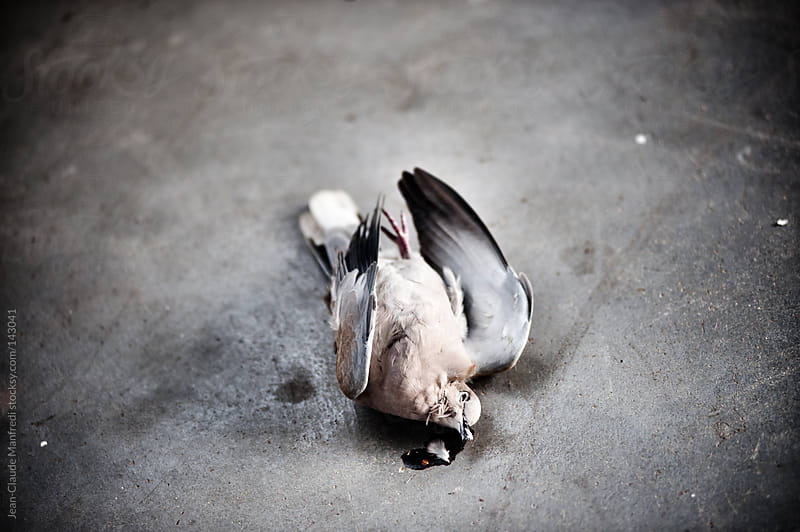 Dead bird on the ground by Jean-Claude Manfredi for Stocksy United