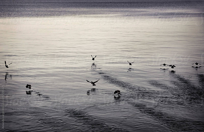 black and white birds landing on water by Amanda Large for Stocksy United