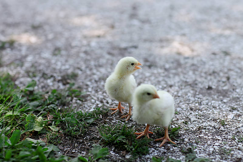 Baby chicks on gravel by Jennifer Brister for Stocksy United